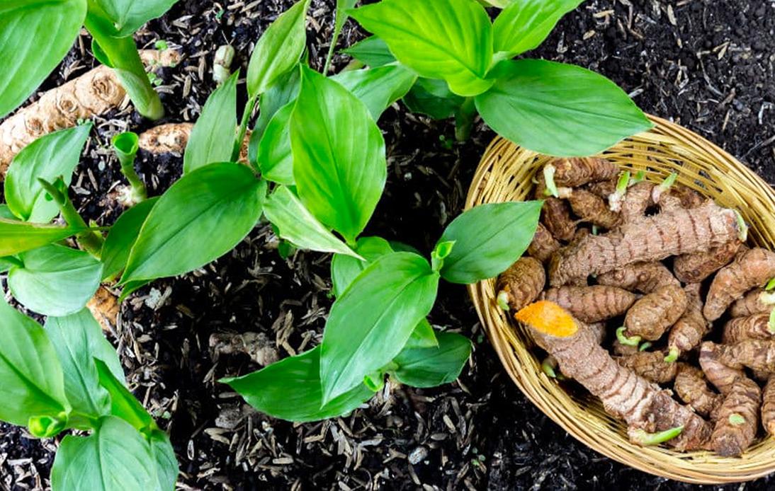 Curcuma Longa Plant